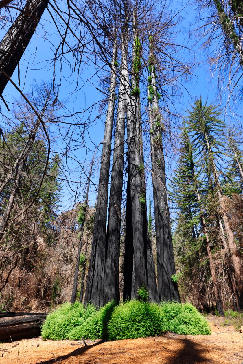 A fairy ring of redwoods sit inside Big Basin State Park on Tuesday, August 10.