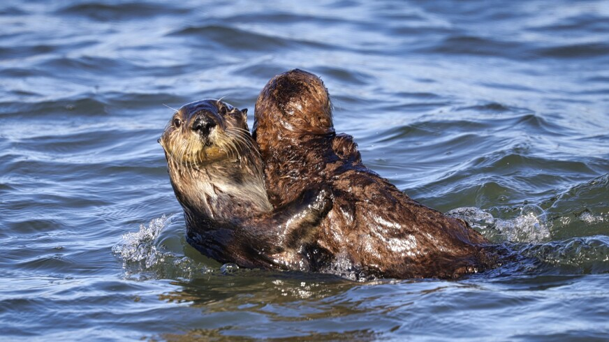 A pair of otters share off the coast of Moss Landing.