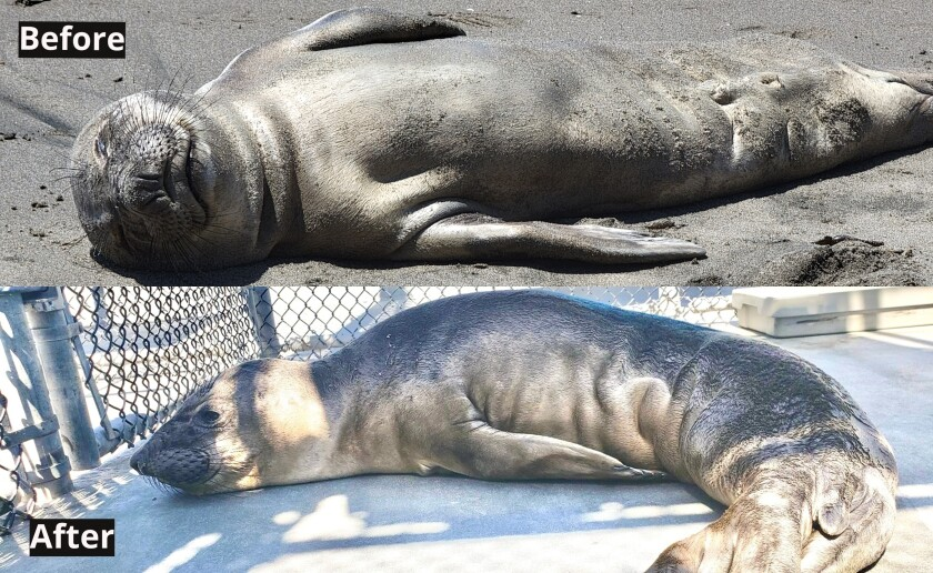 Force, a 2- to 3-month-old elephant seal pup