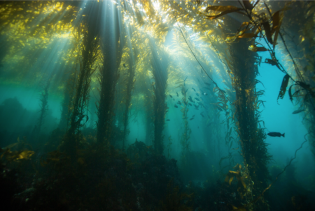 A dense kelp forest in Carmel Bay features mature and growing giant kelp as well as assorted species of understory algae.