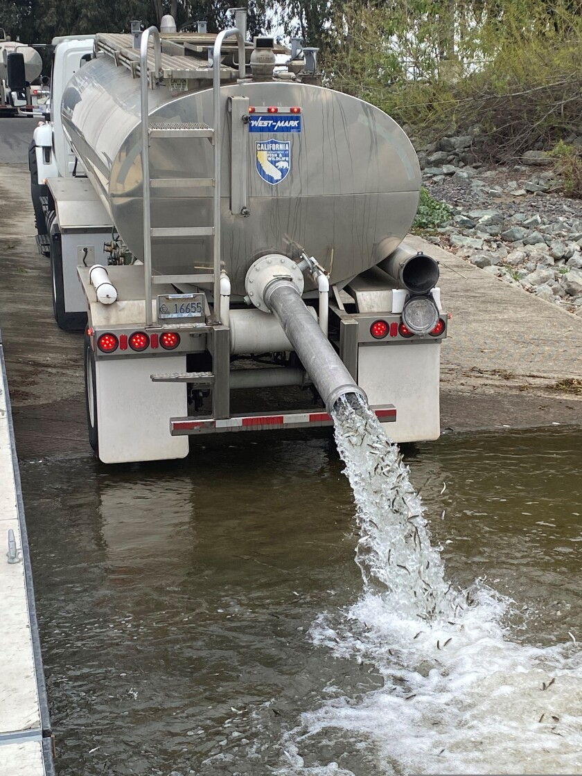 In this undated photo, young salmon that have been transported by truck from a hatchery are released.