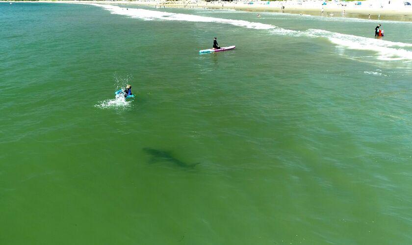 A great white shark swims near surfers.