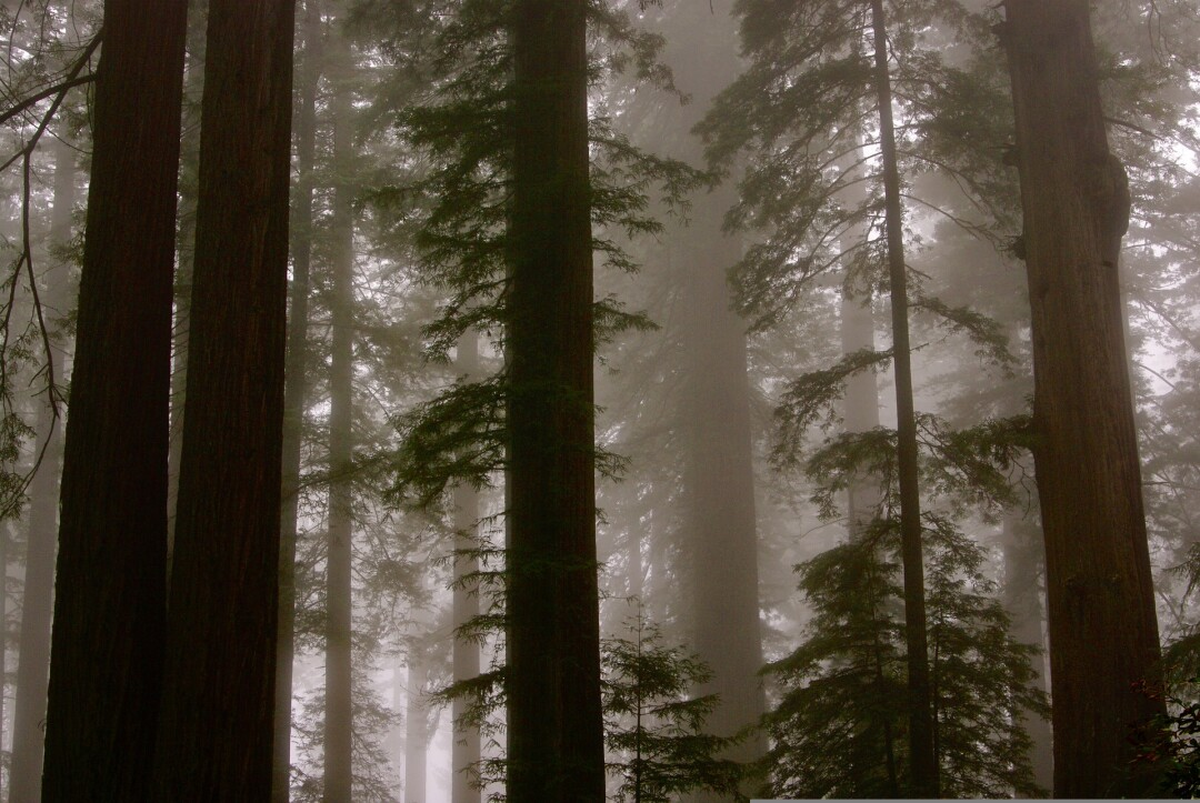Fog in a redwood forest