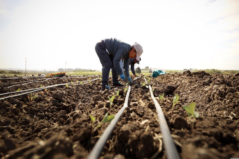 Hermelinda Vasquez, community engagement specialist at Esperanza Community Farms, planting some of this year's crop.