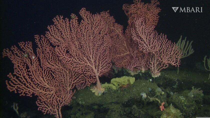 Deep sea corals at the Sur Ridge.