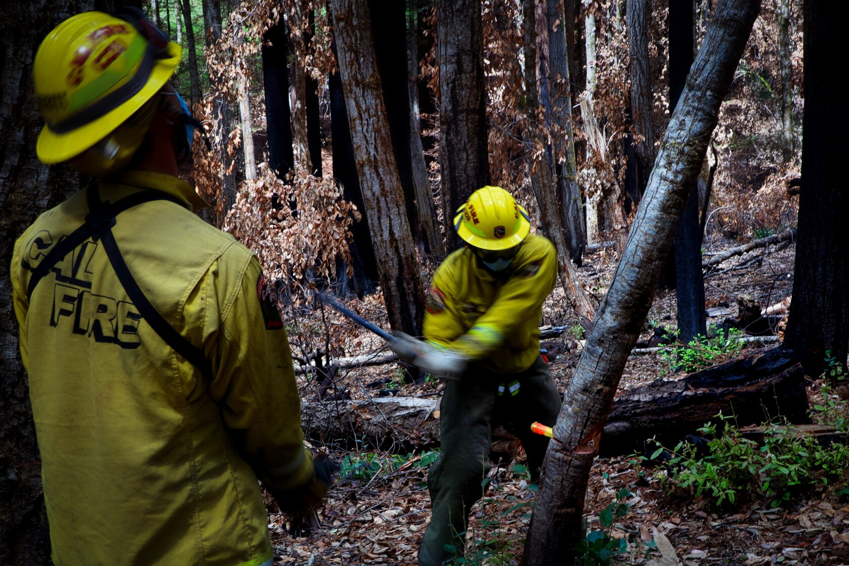 Cal Fire firefighters conduct Bonny Doon Cal Fire clean up dead trees from the understory in preparation for fire season.