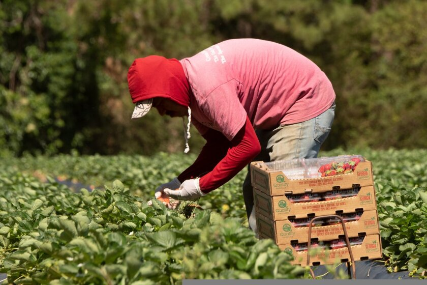 Farmworkers pick strawberries in 2019.
