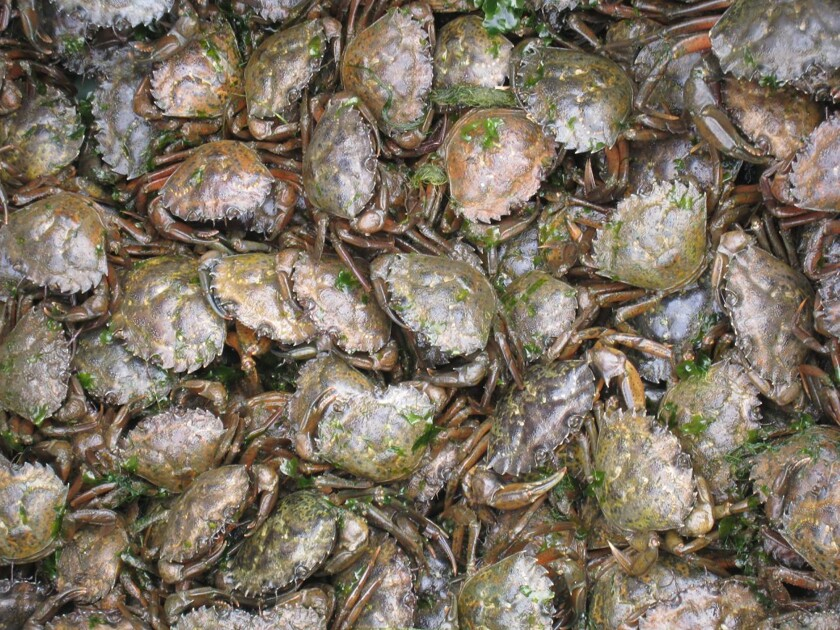 Close up view of a bin of green crabs pulled from a single trap.