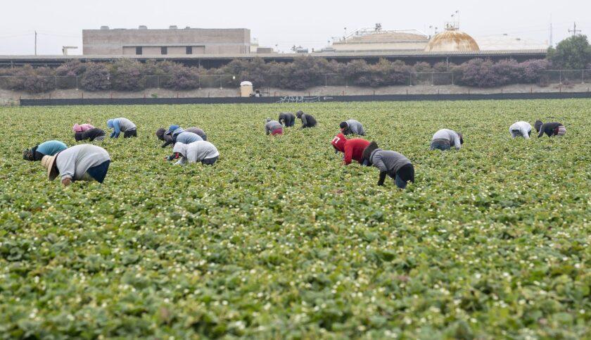 Farmworkers pick strawberries