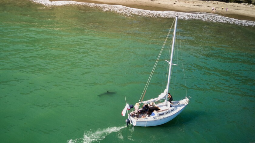 A juvenile great white shark near a sailboat off the shore between Capitola and Aptos on May 4, 2021.
