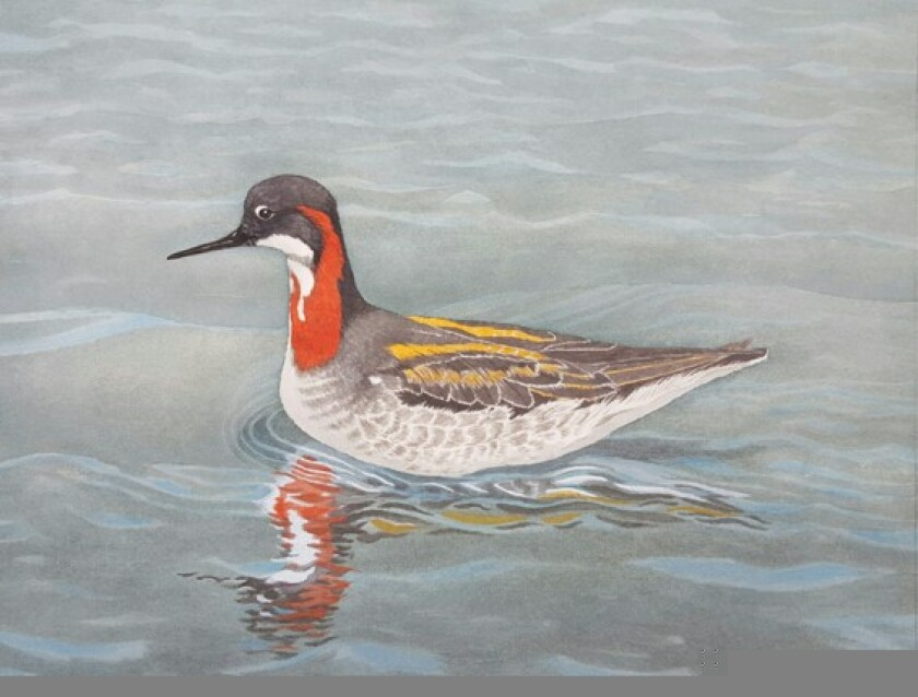 Red-necked Phalarope by Vance Lowry, a painting