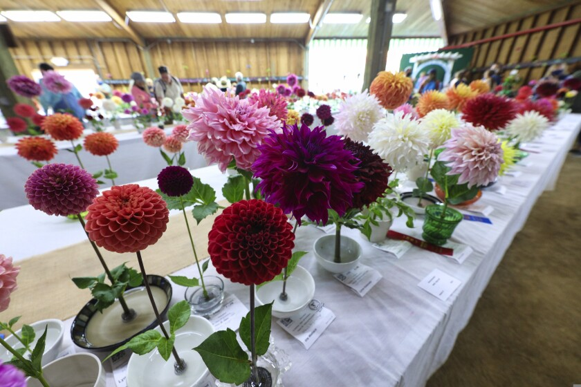 Prize flowers at the Santa Cruz County Fair