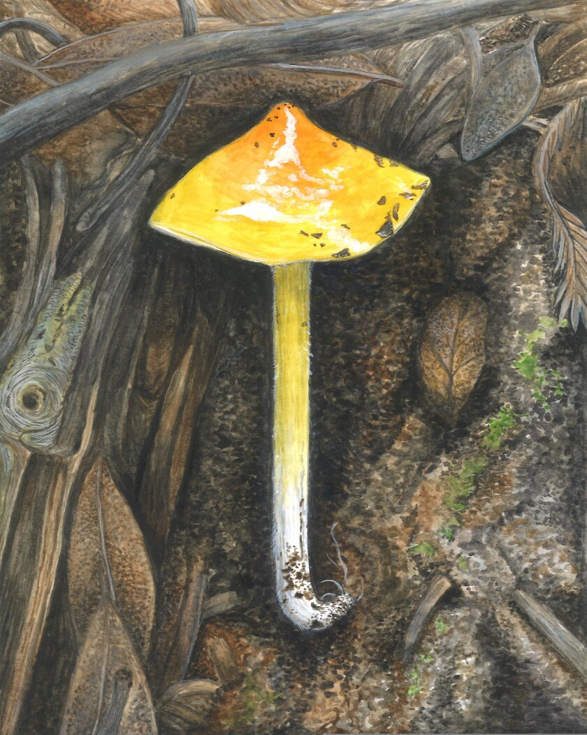 """This watercolor by Chelsea Kintz, titled """"Waxy Cap,"""" is set to be on display at the SCMNH art show."""