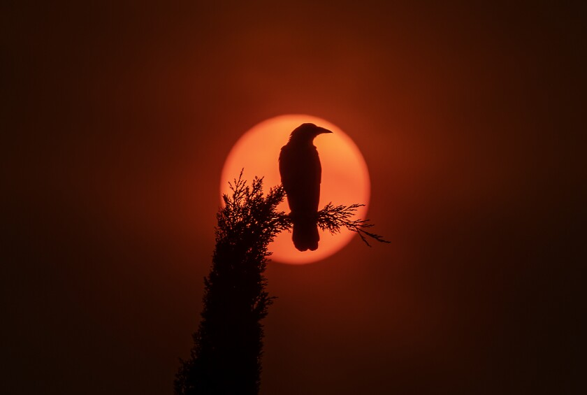 A crow sits on a cypress tree silhouetted by the sun.