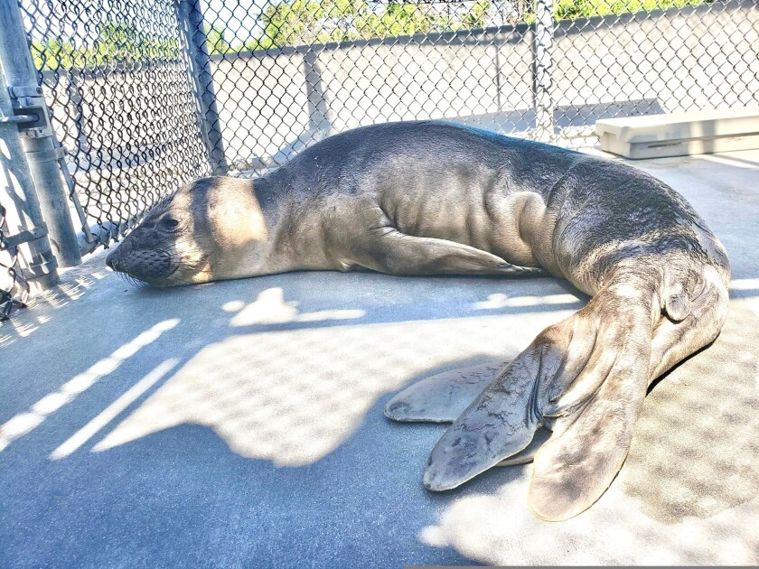 The same northern elephant seal pup