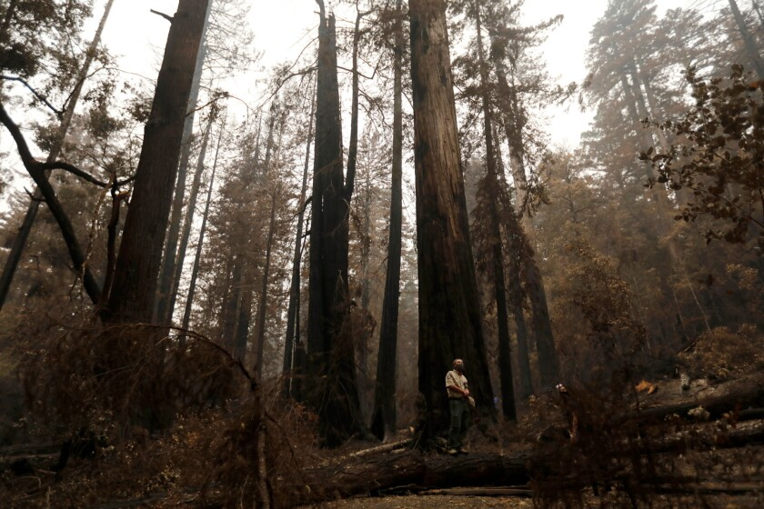 Mark Hylkema, cultural resources program supervisor with California State Parks, surveys the redwoods during a media tour of Big Basin Redwoods State Park after the CZU Complex fire on Sept. 10, 2020. Photo by Nhat V. Meyer, Bay Area News Group