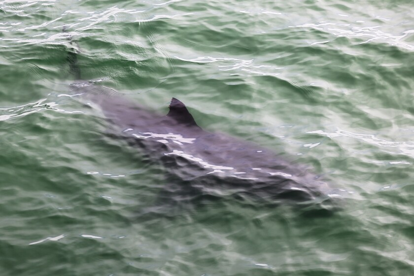 A juvenile great white shark spotted off New Brighton State Beach on a Memorial Day shark-watching tour.
