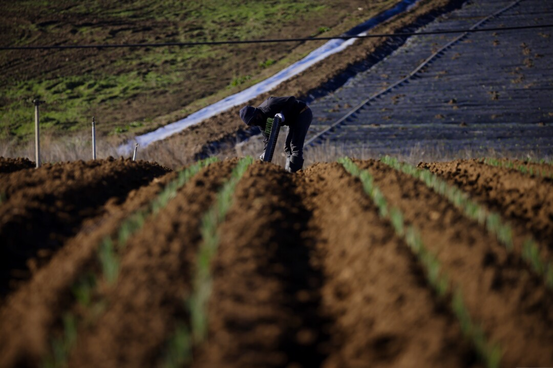 A farmworker at Lakeside Organic in Watsonville on Tuesday, Jan. 26.