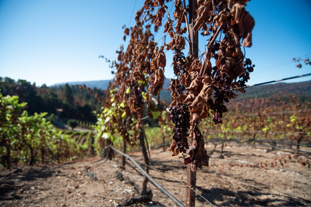 Burnt vines remain at Big Basin Vineyards.