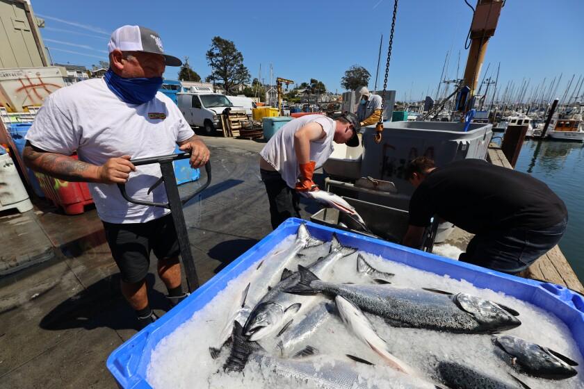 Workers unload fresh salmon at the Santa Cruz Harbor.