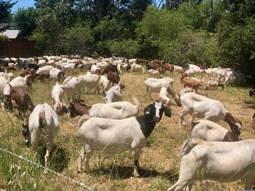 Goats working in Santa Cruz Gardens.