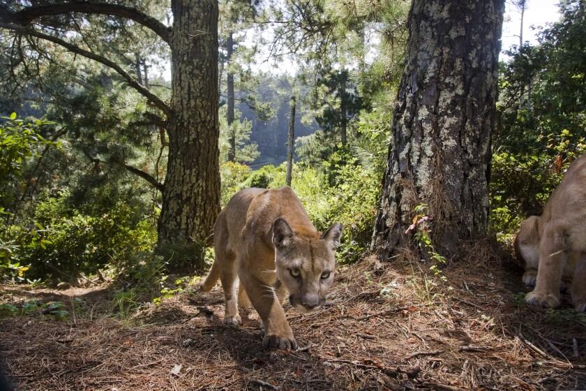A mountain lion in the Santa Cruz mountains.