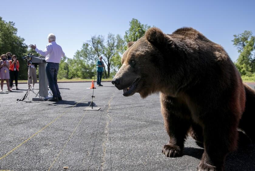 A Kodiak bear at an event for California recall candidate John Cox