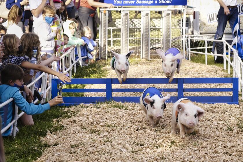 Pig races at the Santa Cruz County Fair
