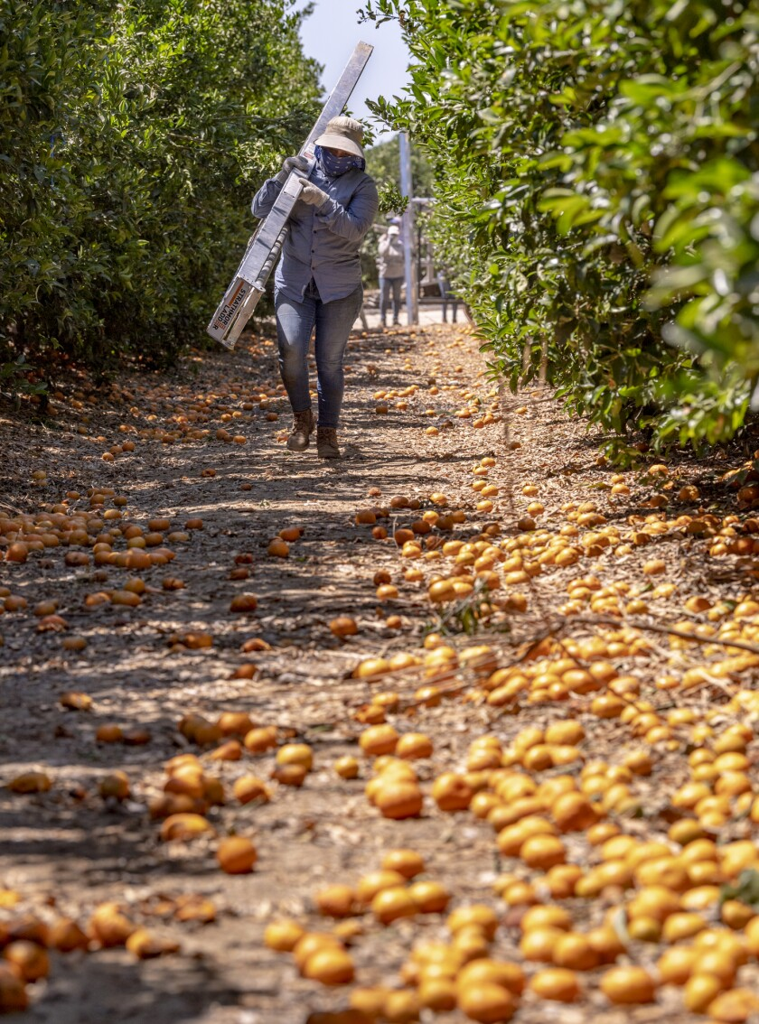 A worker carries a picking ladder over unsold citrus in a grove near Rocky Hill Drive and Spruce Road in Exeter on Monday, June 14, 2021. Ron Holman / Visalia Times-Delta