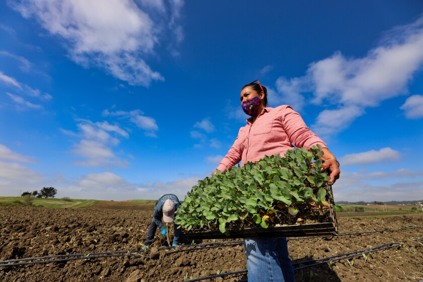 Mireya Gomez-Contreras, the co-leader of Esperanza Community Farms, planting greens for this year's season.