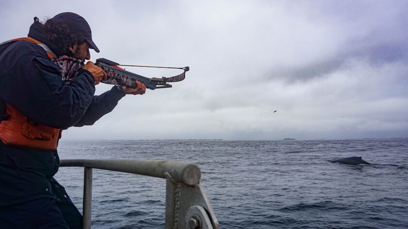 UCSC postdoc Ryan Reisinger aims a crossbow, loaded with a custom blubber-sampling dart, at a humpback whale in Monterey Bay.
