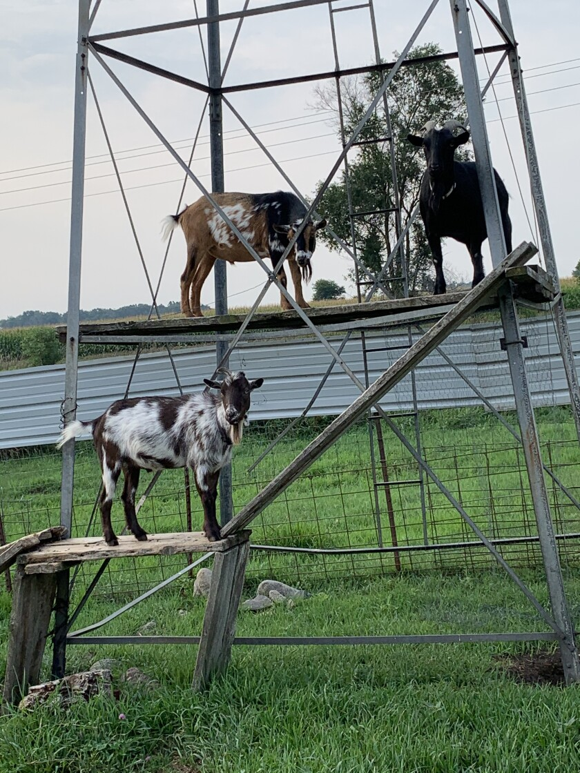 The goats Charlie, Pete and Earle at the Peterson farm in Beresford, S.D.