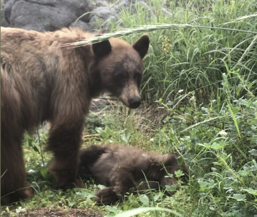 A mother bear standing over the body of her cub, killed by a vehicle in Yosemite National Park.