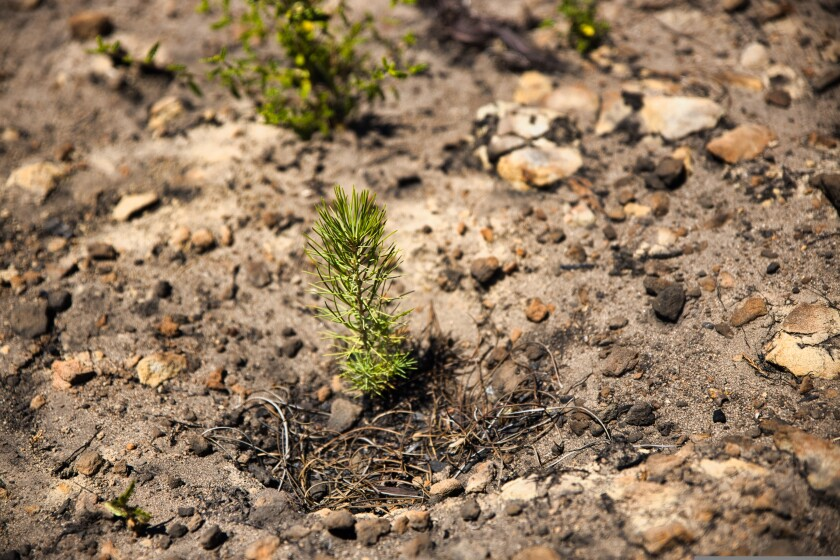 A Knobcreek pine begins to sprout atop a fire-damaged hill inside Big Basin State Park on Tuesday, August 10.