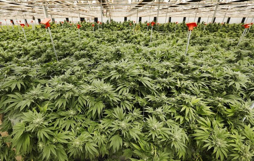 Marijuana growing in a steel-frame greenhouse at Brand Farms in Carpinteria
