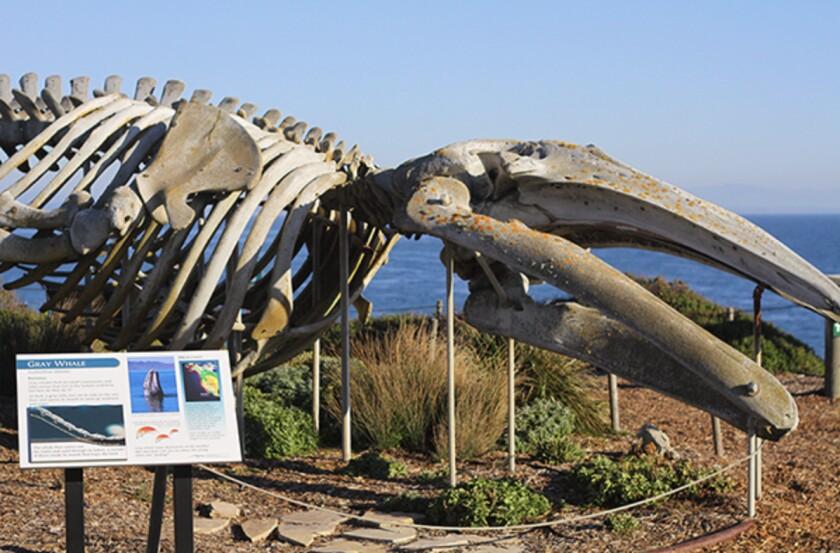 A whale skeleton at the Seymour Center in Santa Cruz