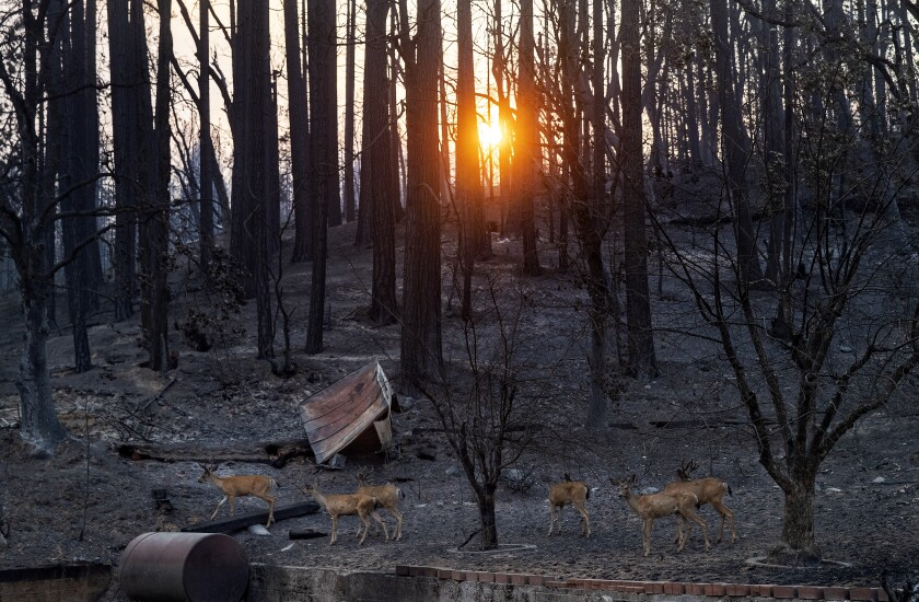 Deer, searching for food at the end of the day, make their way past scorched trees caused by the Dixie Fire