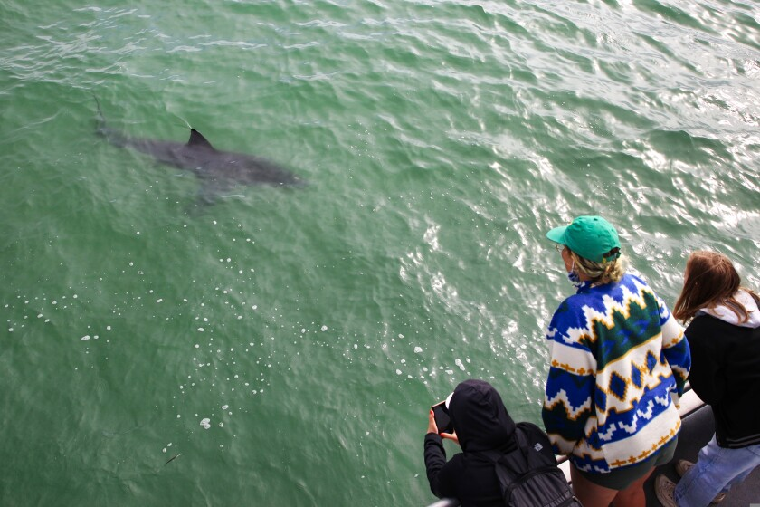 Passengers on a Memorial Day shark-watching tour in Santa Cruz check out an approaching great white shark.