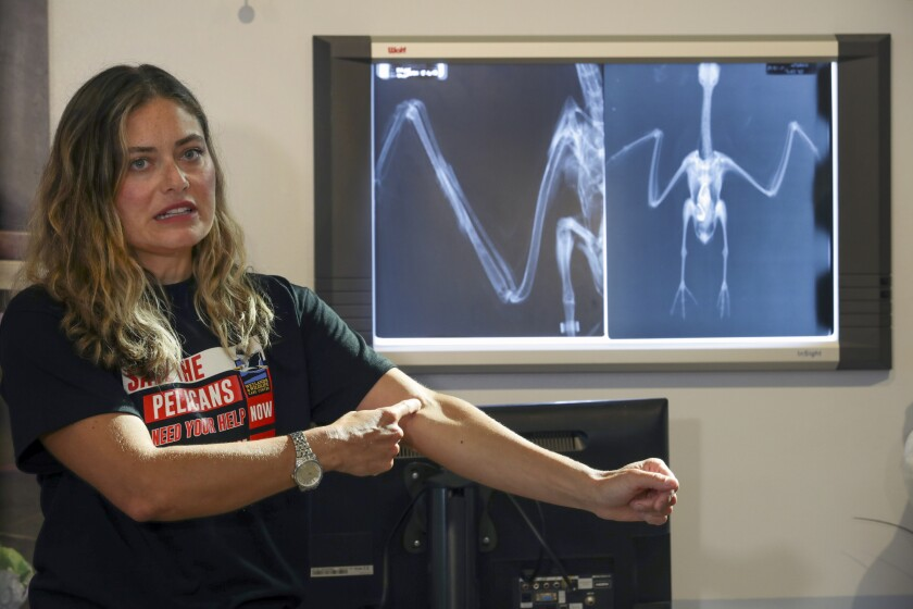 Veterinarian with a pelican X-ray