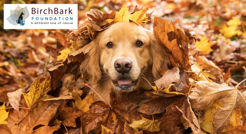golden retriever in leaves