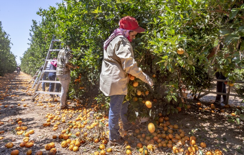 A crew removes unsold fruit from trees near Rocky Hill Drive and Spruce Road in Exeter on Monday, June 14, 2021. Ron Holman / Visalia Times-Delta