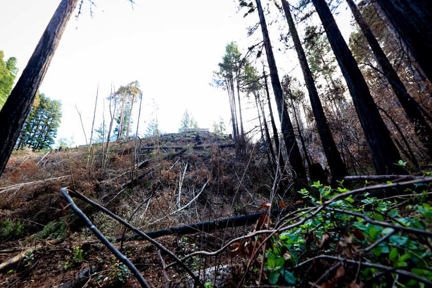 Trees and brush in the Santa Cruz Mountains CZU Lightning Complex Fires Scar Zone