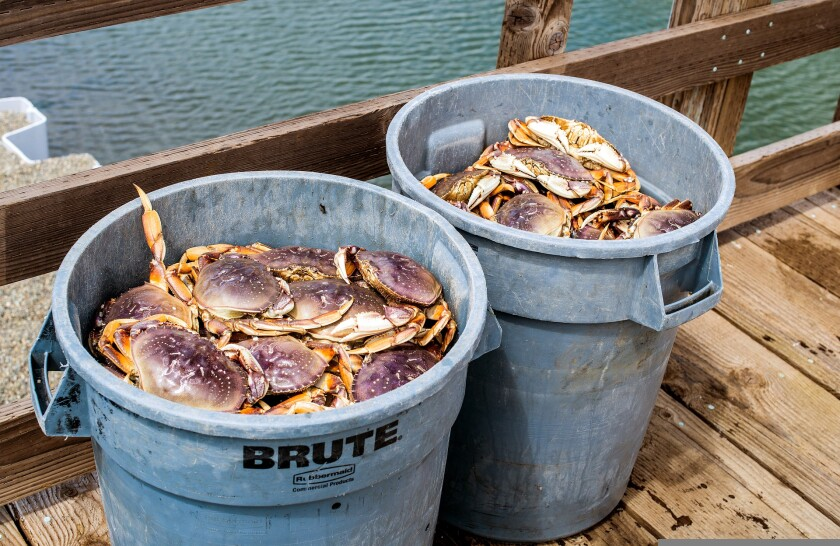 A photo of fresh Dungeness crab in plastic buckets.