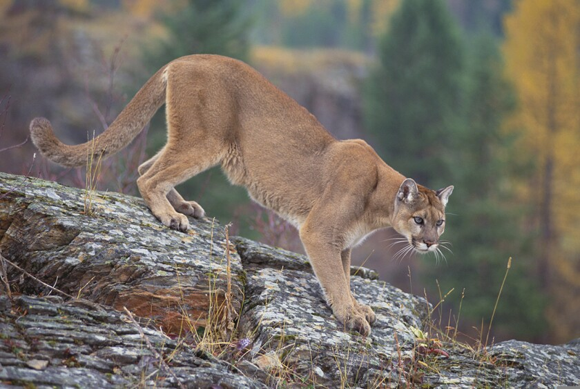 Mountain lion lunging