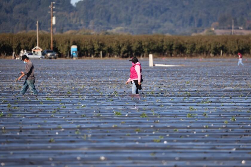 Farmworkers work a field near Watsonville on Nov. 16.