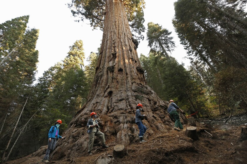 The 3,000-year-old Stagg Tree, the privately owned Alder Creek Grove, that was spared in the 2020 Castle fire.