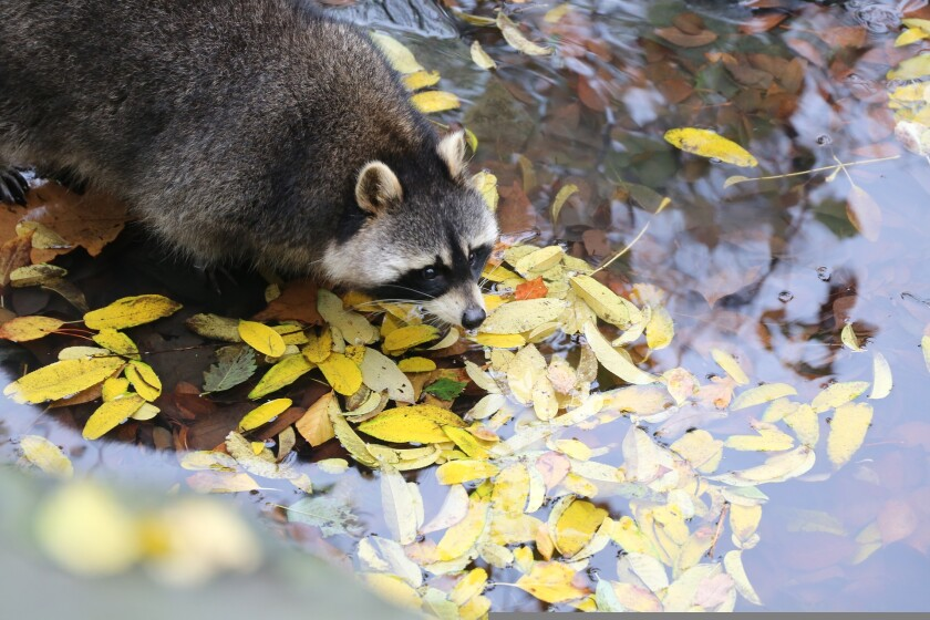 A file image of a raccoon