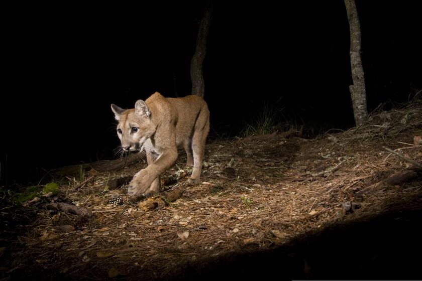 North American Cougar, puma or mountain lion