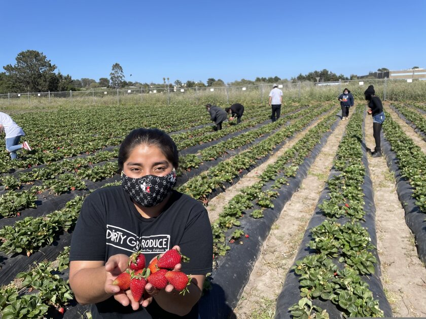Kids picking strawberries in a field