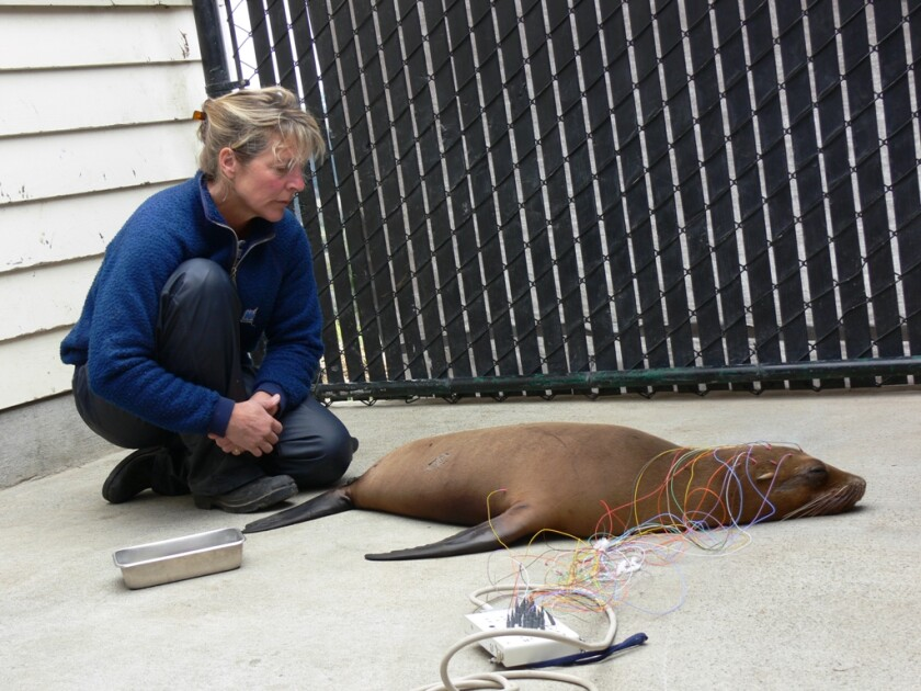 Frances Gulland watches over a sea lion undergoing an EEG test to determine the impact of domoic acid poisoning.